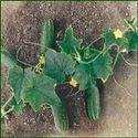 Cucumber Seed- Shubhangi
