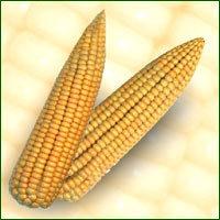 Maize Seed - Raghav ( Hybrid)