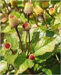 Spilanthes Acmella