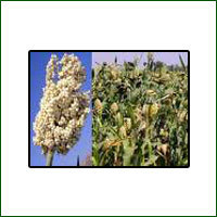 Jowar Seed Research