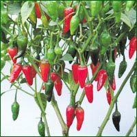 Chilli Seeds- Chutaki (Hybrid)