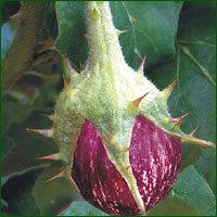 Brinjal Seed - Raja (HYBRID)