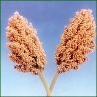 Jowar Seeds - Phule Mauli