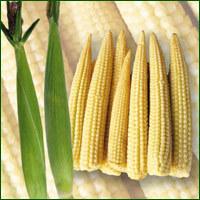 Baby Corn Seed - Sonal ( Hybrid)