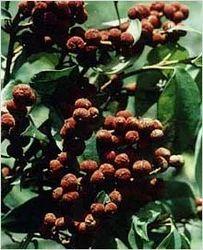 Mallotus Philippinensis