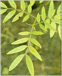 Cassia Angustifolia