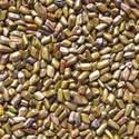 Semen Cassia Tora