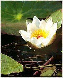 Nymphaea Lotus,Nymphaea Nouchali,White Lotus,White Water Lilly ...