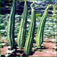 Ridge Gourd Seed- Akshay (HYBRID)