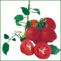 Tomato Seed - Panchali (HYBRID)