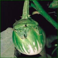 Brinjal Seed- Vikas ( Hybrid)