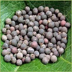 Embelia Ribes / Myrsinaceae / Vidanga Baividang