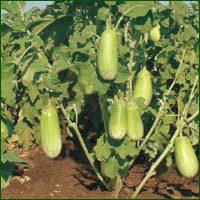 Brinjal Seed- Tapiraja (HYBRID)
