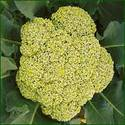 broccoli seeds green currency
