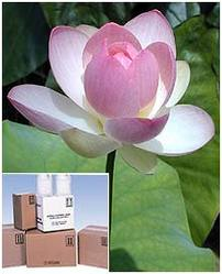 Nelumbo Nucifera Extract