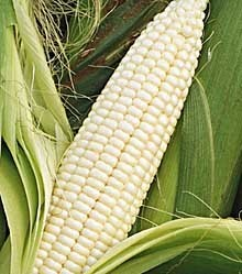 http://1.imimg.com/data/X/V/MY-44851/frozen-white-corn_10431712_250x250.jpg