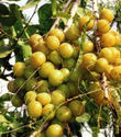 Amla-Emblica Officinalis